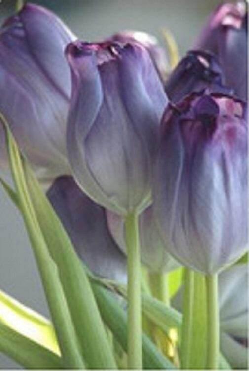 3x Watercolor Purple Tulip Flower Seeds- LOCAL READY STOCKS