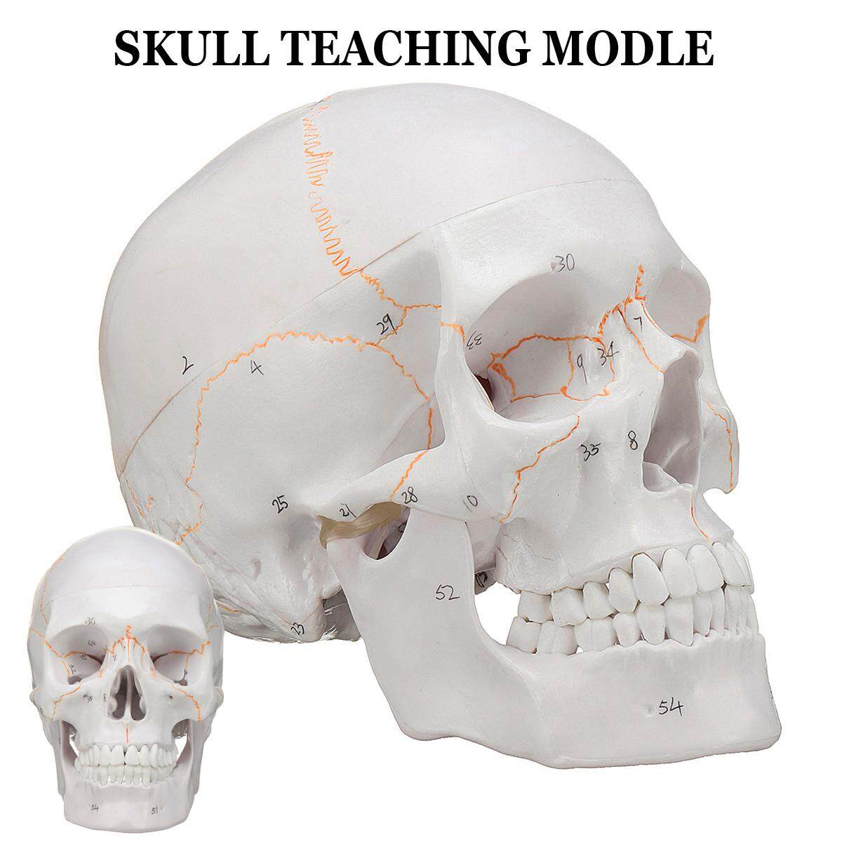 Life Size Human Anatomical Anatomy Head Skeleton Skull Teaching Model  Precise