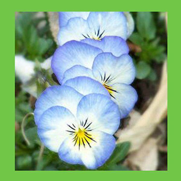 3x Light Blue Pansy Flower Seeds- LOCAL READY STOCKS