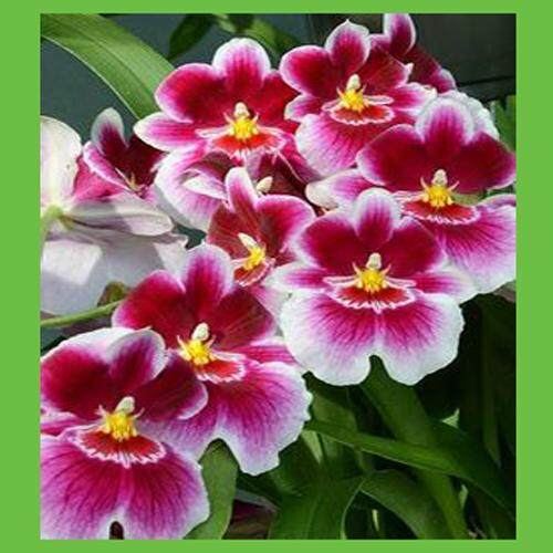 3x Red Core Pansy Flower Seeds- LOCAL READY STOCKS
