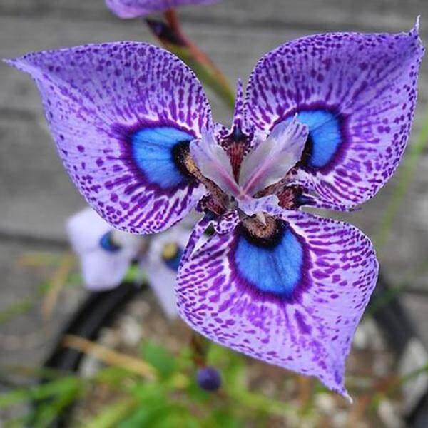 3x Purple Spot Phalaenopsis Orchid Flower Seeds- LOCAL READY STOCKS