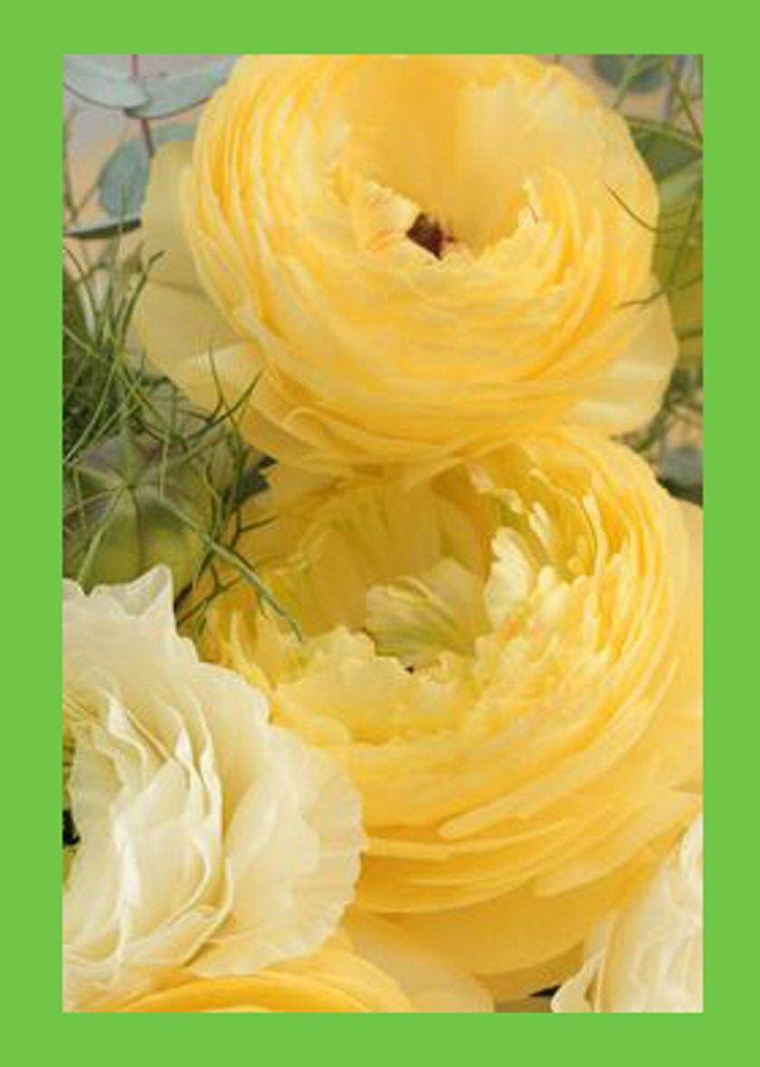 3x Pure Yellow Ranunculus Flower Seeds- LOCAL READY STOCKS