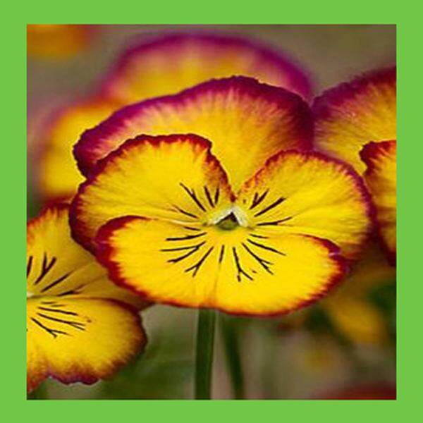 3x Crimson Edge Yellow Pansy Flower Seeds- LOCAL READY STOCKS