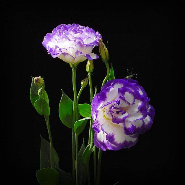 3x Purple Edge White Eustoma Flower Seeds- LOCAL READY STOCKS