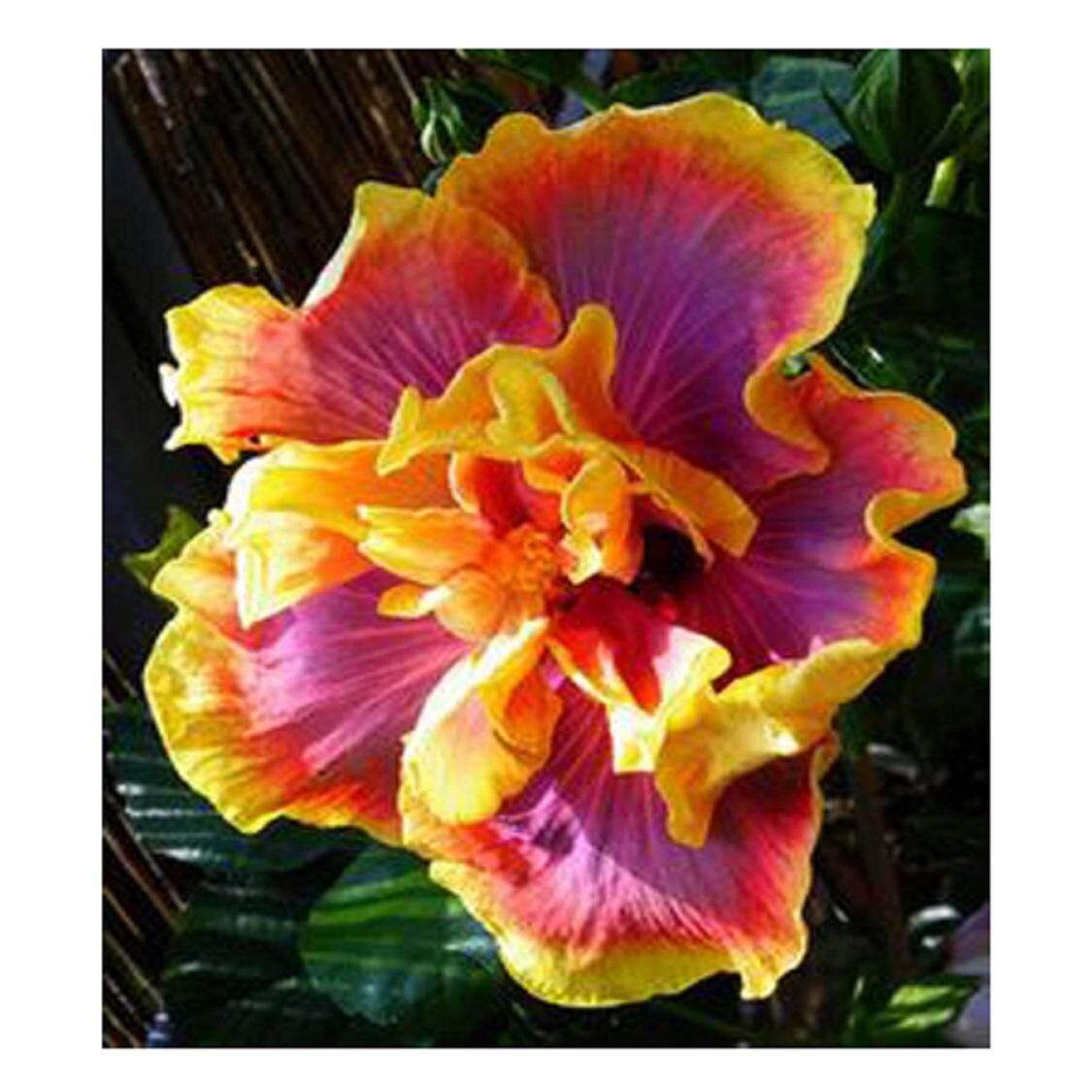 3x Orange Edge Ripple Hibiscus Flower Seeds Local Ready Stocks