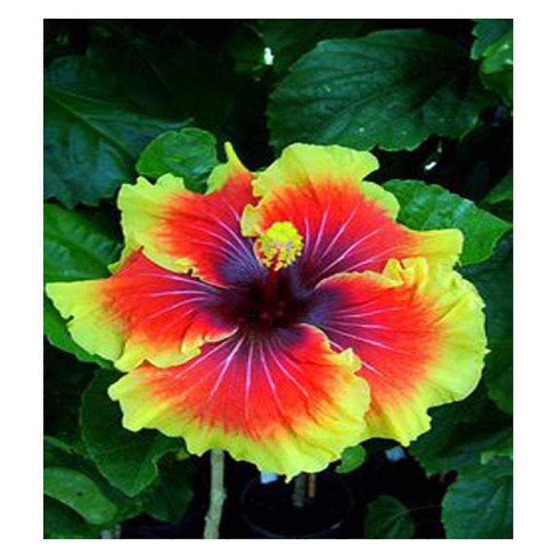 3x Orange Core Yellow Hibiscus Flower Seeds Local Ready