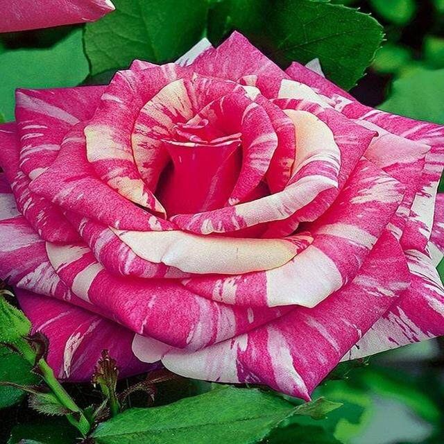 3x Pink White Line Rose Flower Seeds- LOCAL READY STOCKS
