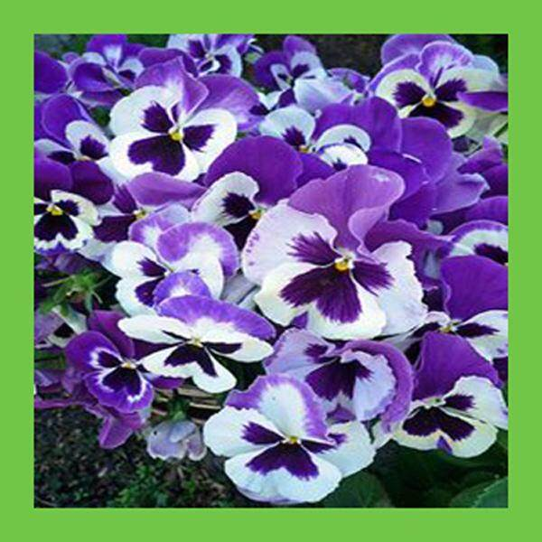 3x Purple & White Pansy Flower Seeds- LOCAL READY STOCKS