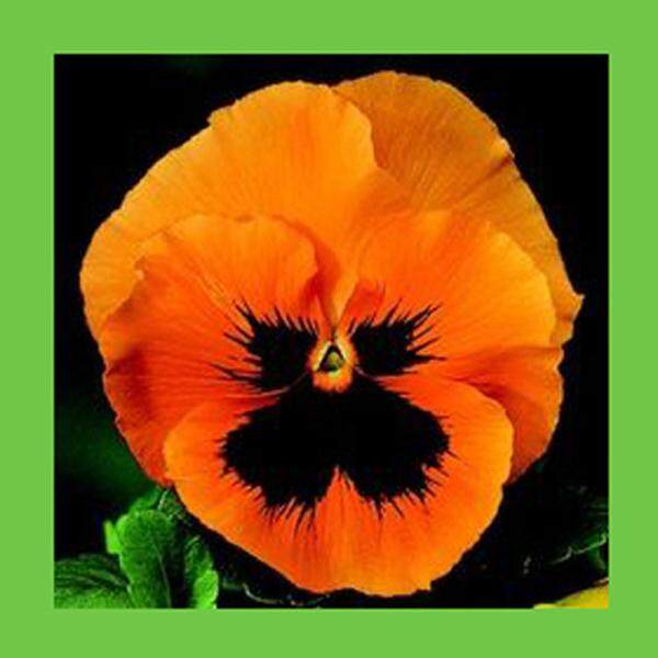 3x Orange Pansy Flower Seeds- LOCAL READY STOCKS