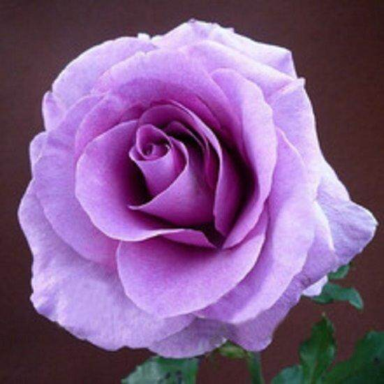 3x Lavender Rose Flower Seeds- LOCAL READY STOCKS