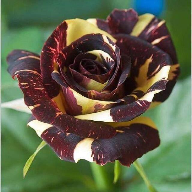 3x Crimson Yellow Line Rose Flower Seeds- LOCAL READY STOCKS