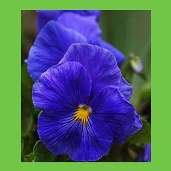 3x Blue Pansy Flower Seeds- LOCAL READY STOCKS