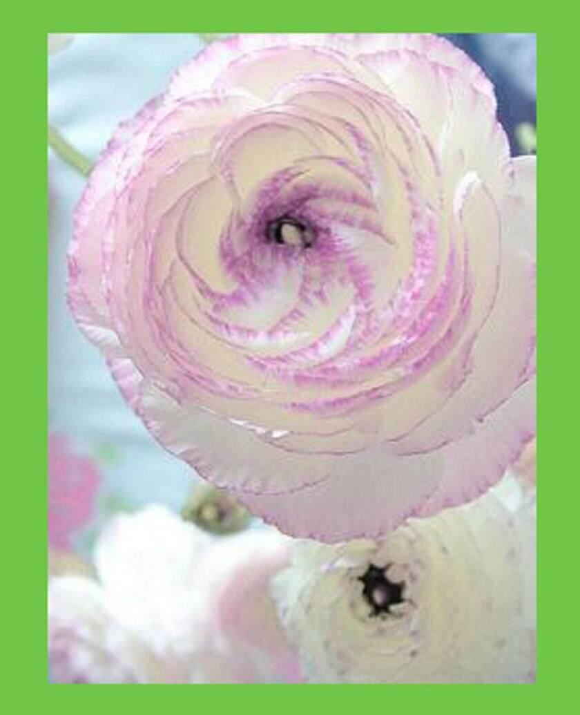 3x Purple Edge White Ranunculus Flower Seeds Local Ready Stocks
