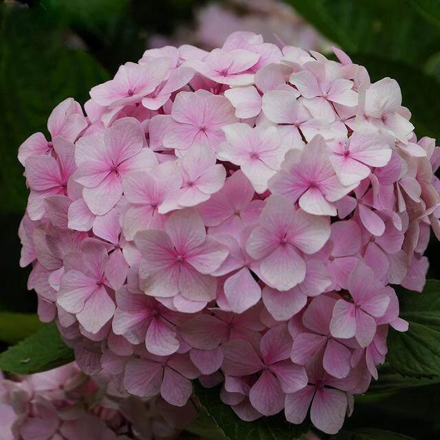 3x Pink Hydrangea Flower Seeds- LOCAL READY STOCKS