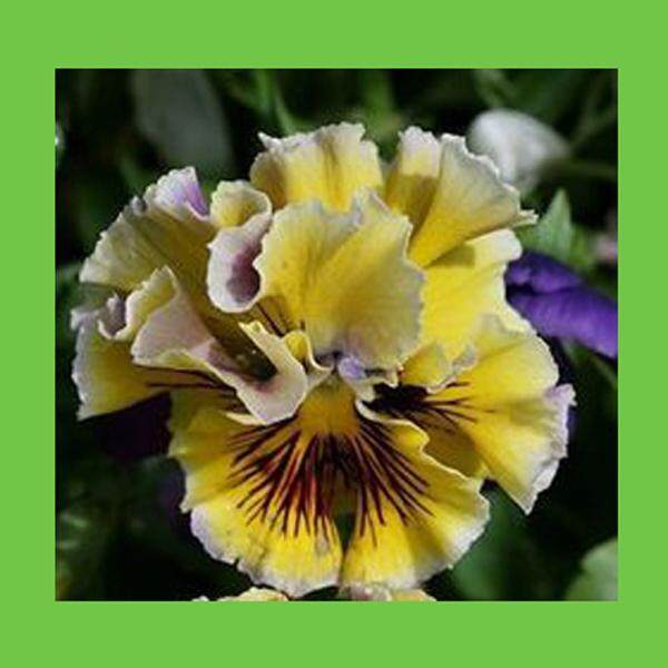 3x White Ripple Yellow Pansy Flower Seeds- LOCAL READY STOCKS