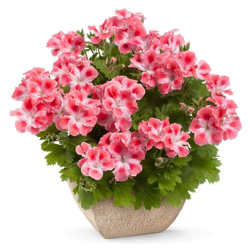 Harga sunweb multi warna geranium biji biji tanaman bonsai bibit bunga