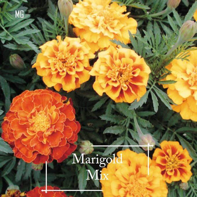 Marigold Mix Colour Seeds - 100 seed