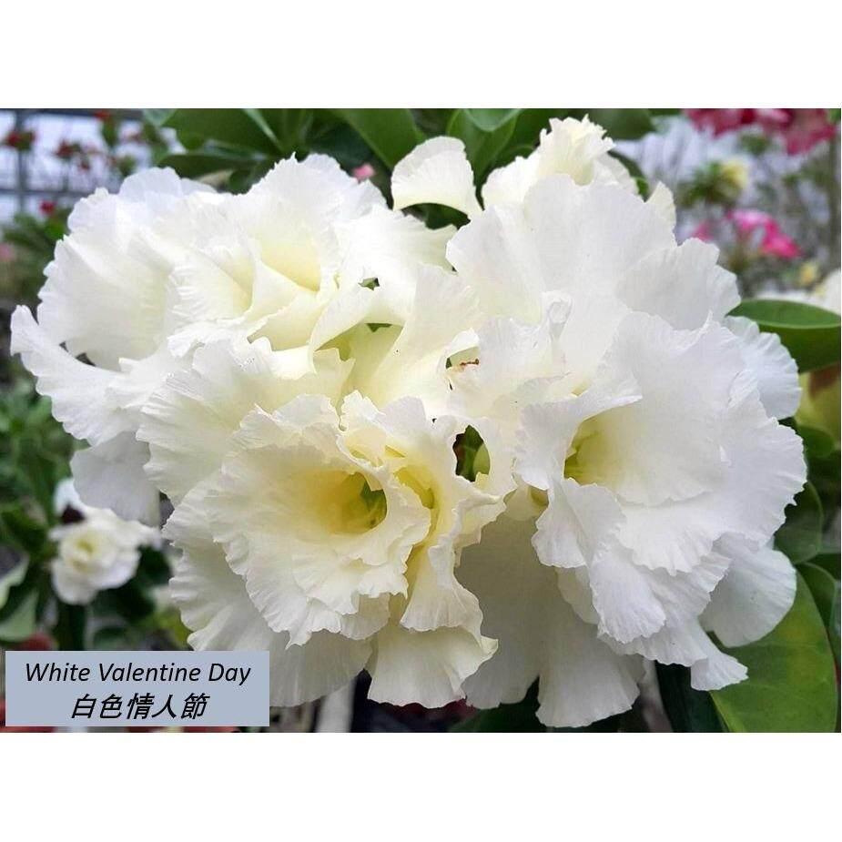 Fitur Benih Bunga Zinnia Liliput Mixed Haira Seed Dan Harga 10 Biji Pcs Adenium Fu Gui Flower Desert Rose Seeds Kemboja White Valentine