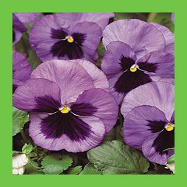 3x Purple Pansy Flower Seeds- LOCAL READY STOCKS