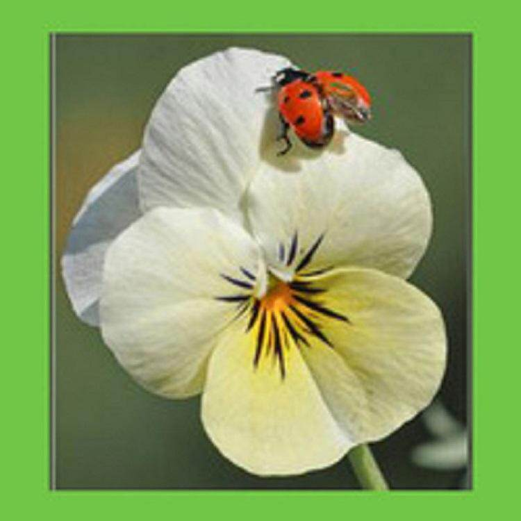 3x White Pansy Flower Seeds- LOCAL READY STOCKS