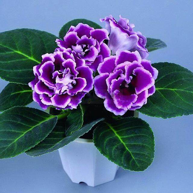 3x Purple Gloxinia Flower Seeds- LOCAL READY STOCKS