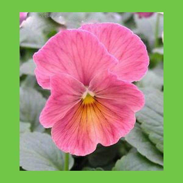 3x Pink Pansy Flower Seeds- LOCAL READY STOCKS