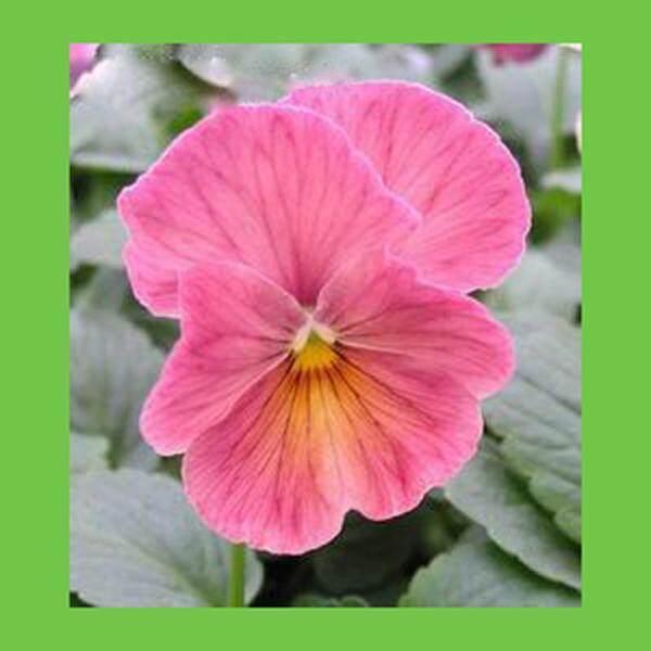 3x pink pansy flower seeds local ready stocks mightylinksfo