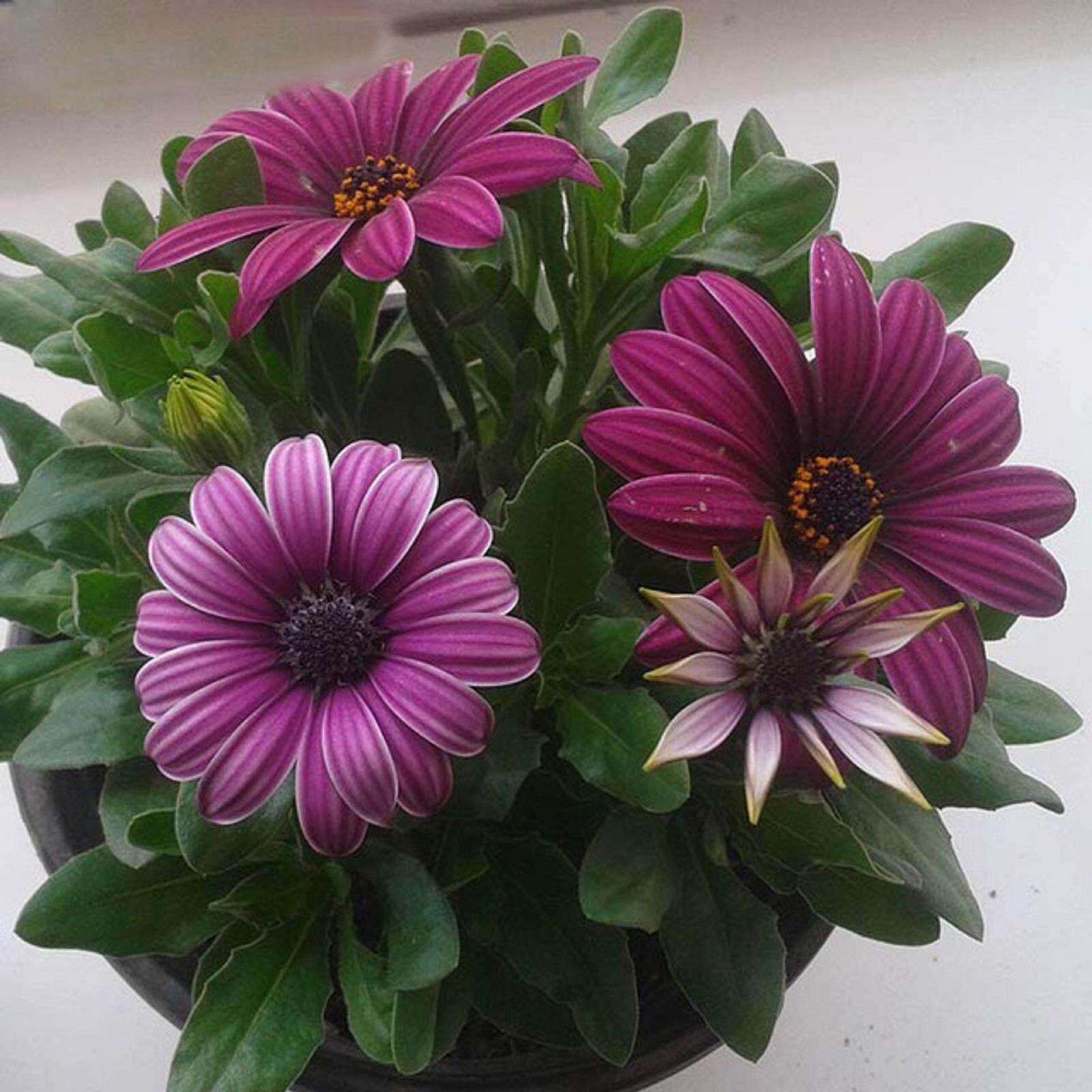 3x Gazania Flower Seeds- LOCAL READY STOCKS