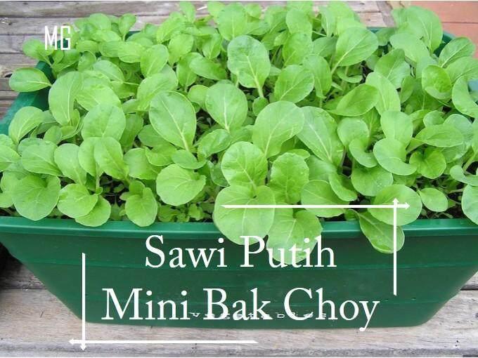 Pot Friendly Mini Choy Sam seeds - 1000 seed  ( 小菜心 )