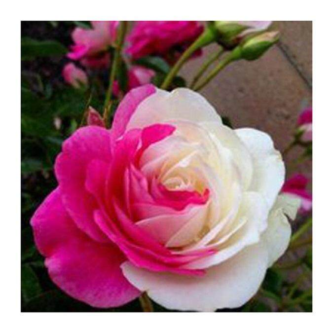 3x Pink White Rose Flower Seeds- LOCAL READY STOCKS