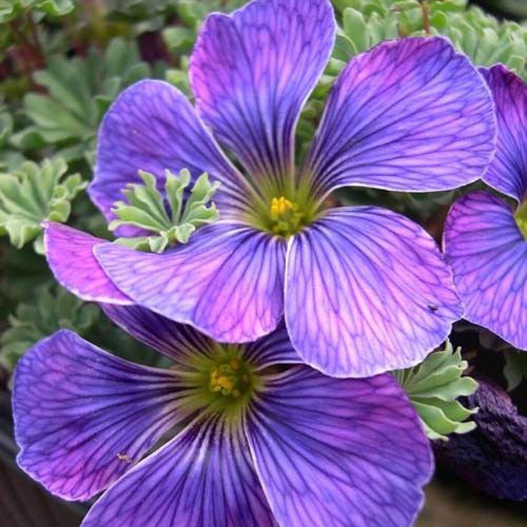 Toprank_Rare Luar Biasa Warna-warni Sorrel Bunga Lukisan Bonsai Oxalis Outdoor Taman-Intl