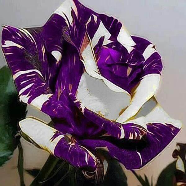 3x Purple White Line Rose Flower Seeds- LOCAL READY STOCKS