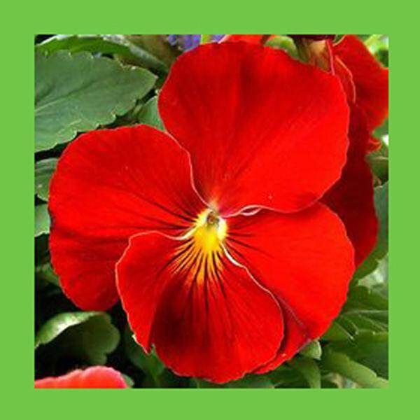 3x Bright Red Pansy Flower Seeds- LOCAL READY STOCKS