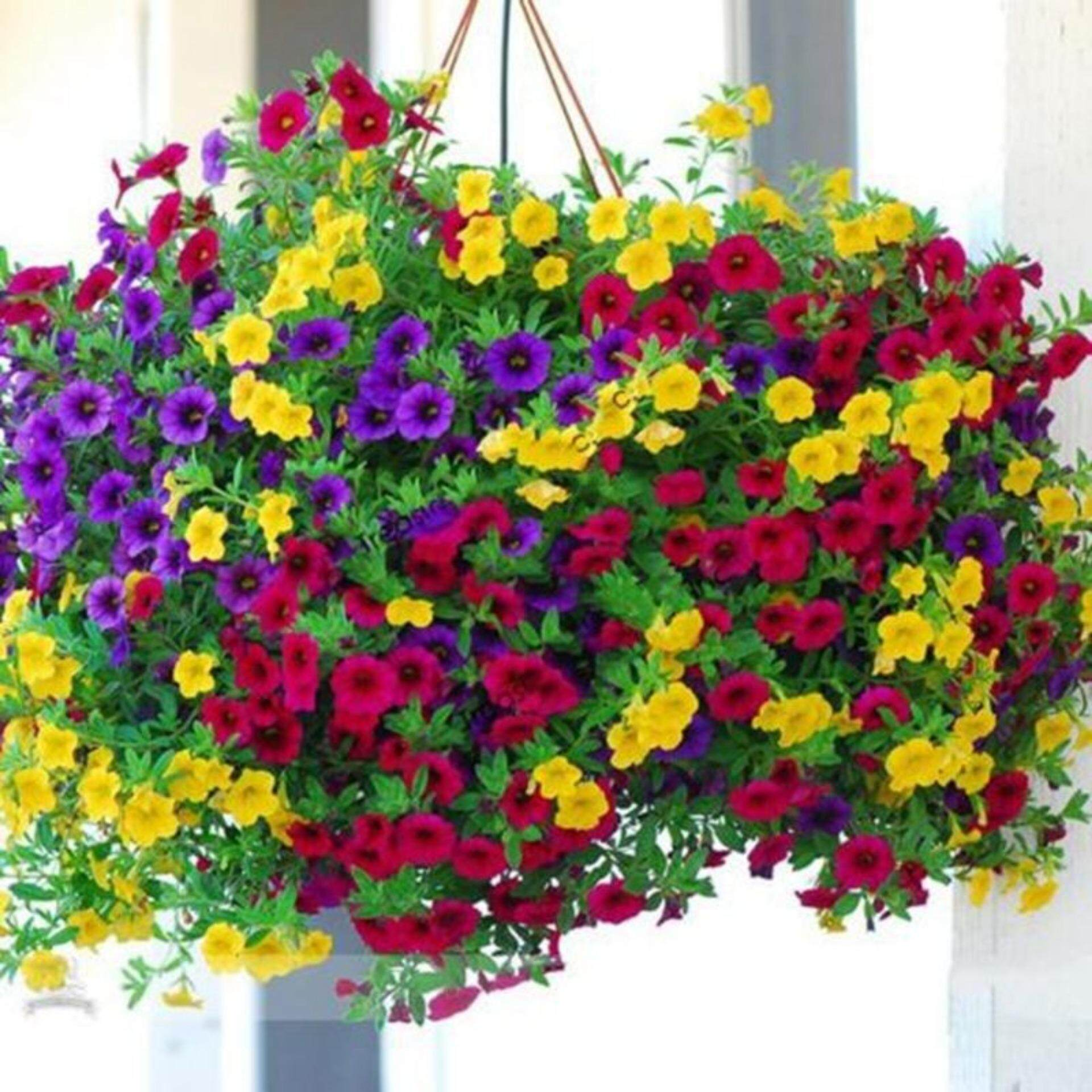 Sissi 1 pack 100 mixed petunia seeds heirloom hanging petunia garden flowers