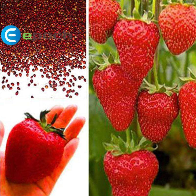 Epoch Strawberry Seeds 2107 100Pcs/Pack Planting Red