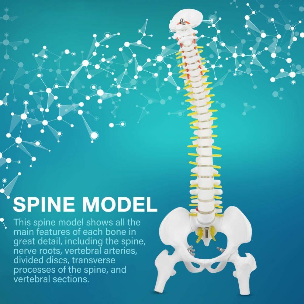 45 Cm Yang Dapat Dilepas Fleksibel Contoh Tulang Belakang Manusia untuk Skeleton Anatomi Belajar Mengajar-Intl