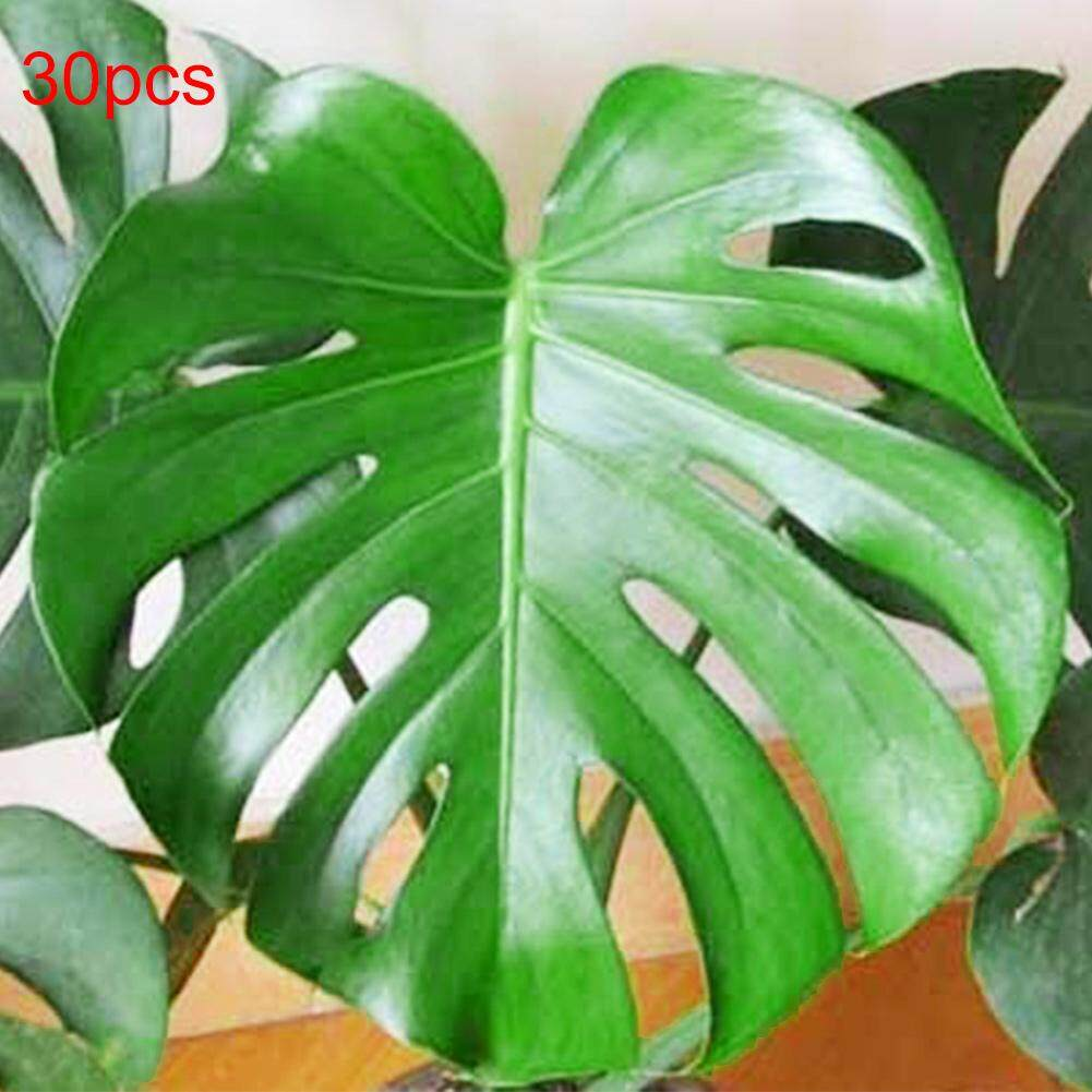 30Pcs Philodendron Turtle Seeds Bonsai for Home Garden Balcony Office Decor  Singapore