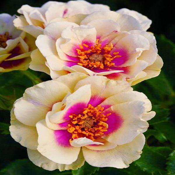 3x Red Core White Rose Flower Seeds- LOCAL READY STOCKS