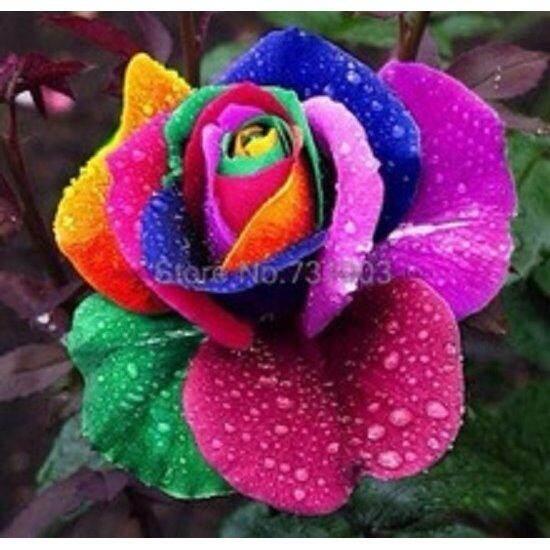 3x Packs Holland Rainbow Rose Flower Seeds- LOCAL READY STOCKS