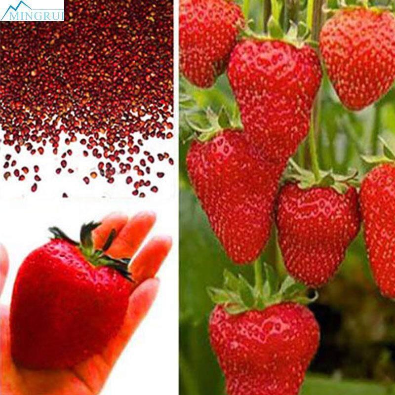 Mingrui Store Giant Red Strawberry Seeds Professional 2107 Rare Garden Planting