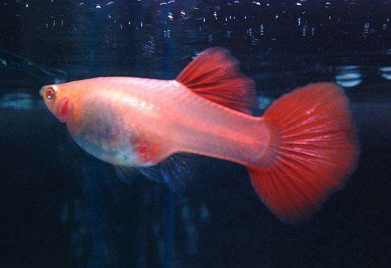 Albino Red Lace SnakeSkin Guppy 1 Pair