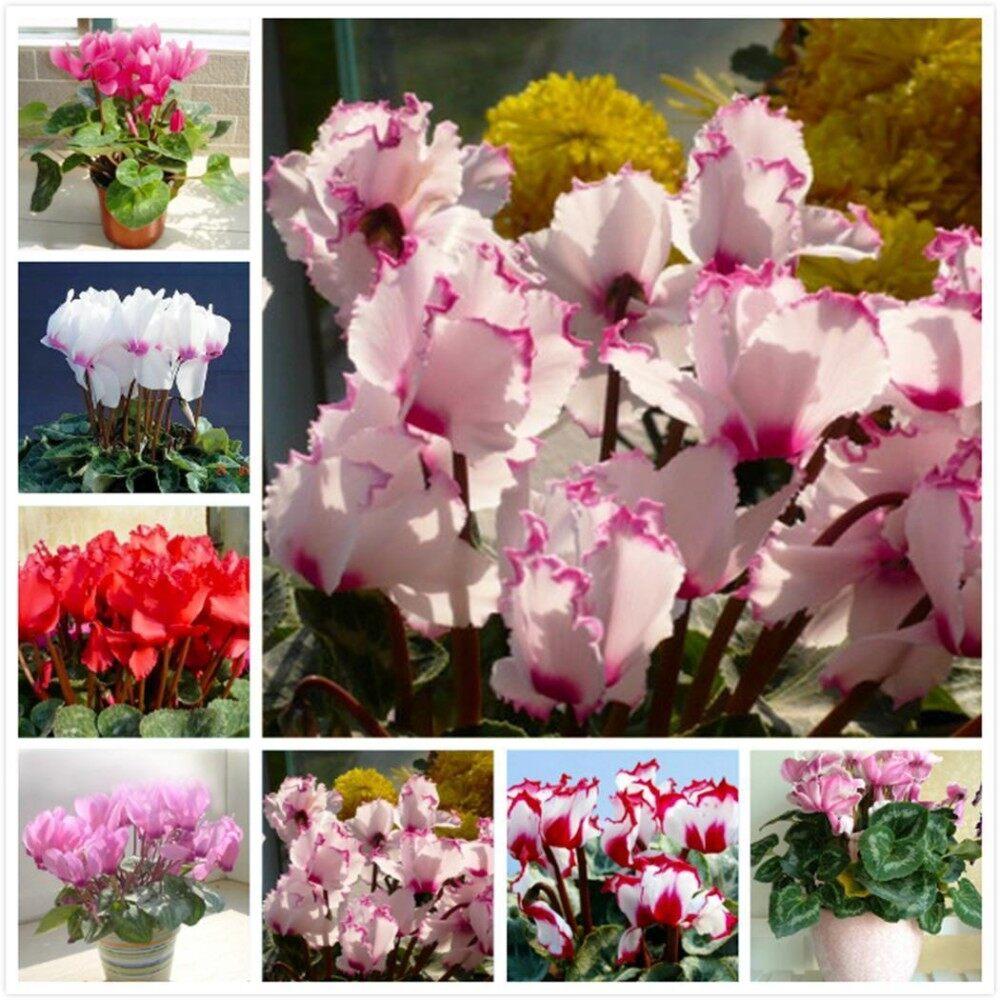 ... Clearance Sale 20pcs Bag Cyclamen Seeds Bonsai Potted Perennial Flower Seeds Home Garden intl