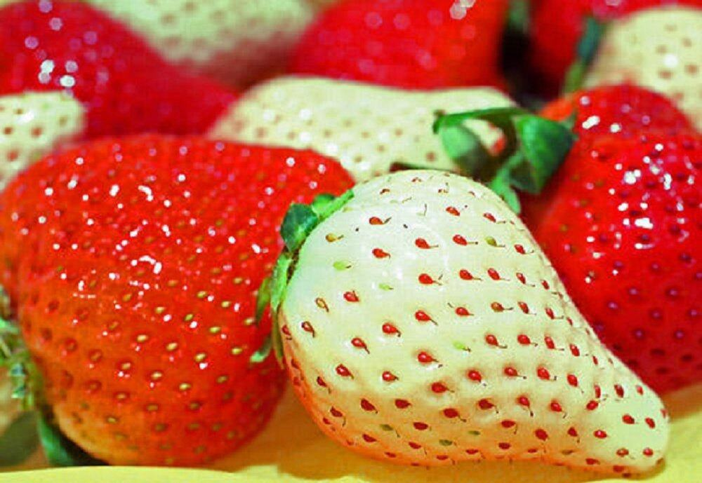 VERY RARE 3X Packs Rare White Strawberry Seeds - FREE SHIPPING